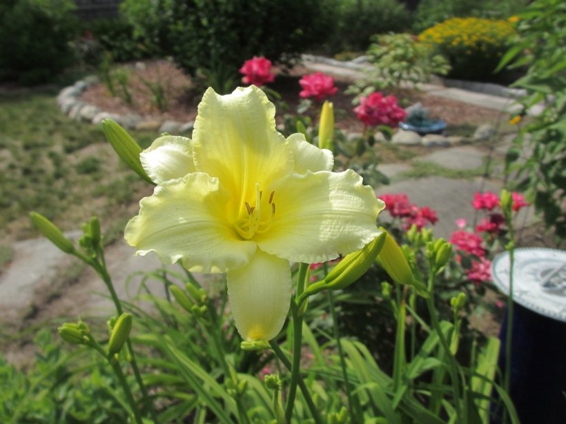 These Lemon daylilies are striking with the nearby Knockout roses.