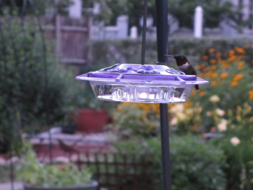 Successful Hummingbird Watch in the garden tonight!
