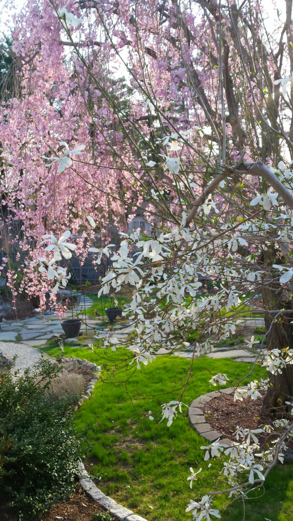Magnolia & Weeping Cherry bloomed together this year.