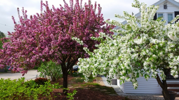 Japanese Weeping Crabapple and standard Crabapple