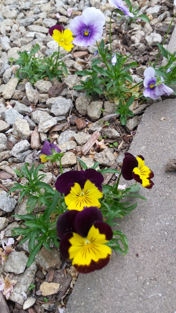 Pansies grew everywhere, except where they were planted!
