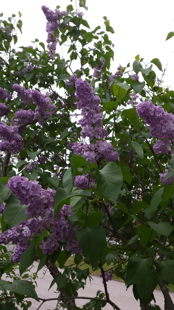 Our State Flower, the (perfumey) Lilac, bloomed most of May