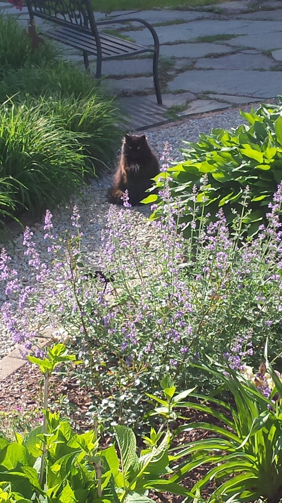 Oreo enjoying the view (and fragrance of the Catmint flowers in bloom!)