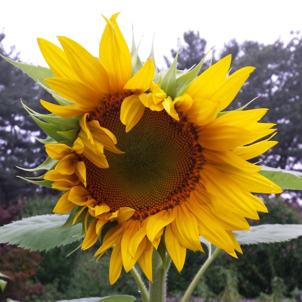 sunflower-almost-open