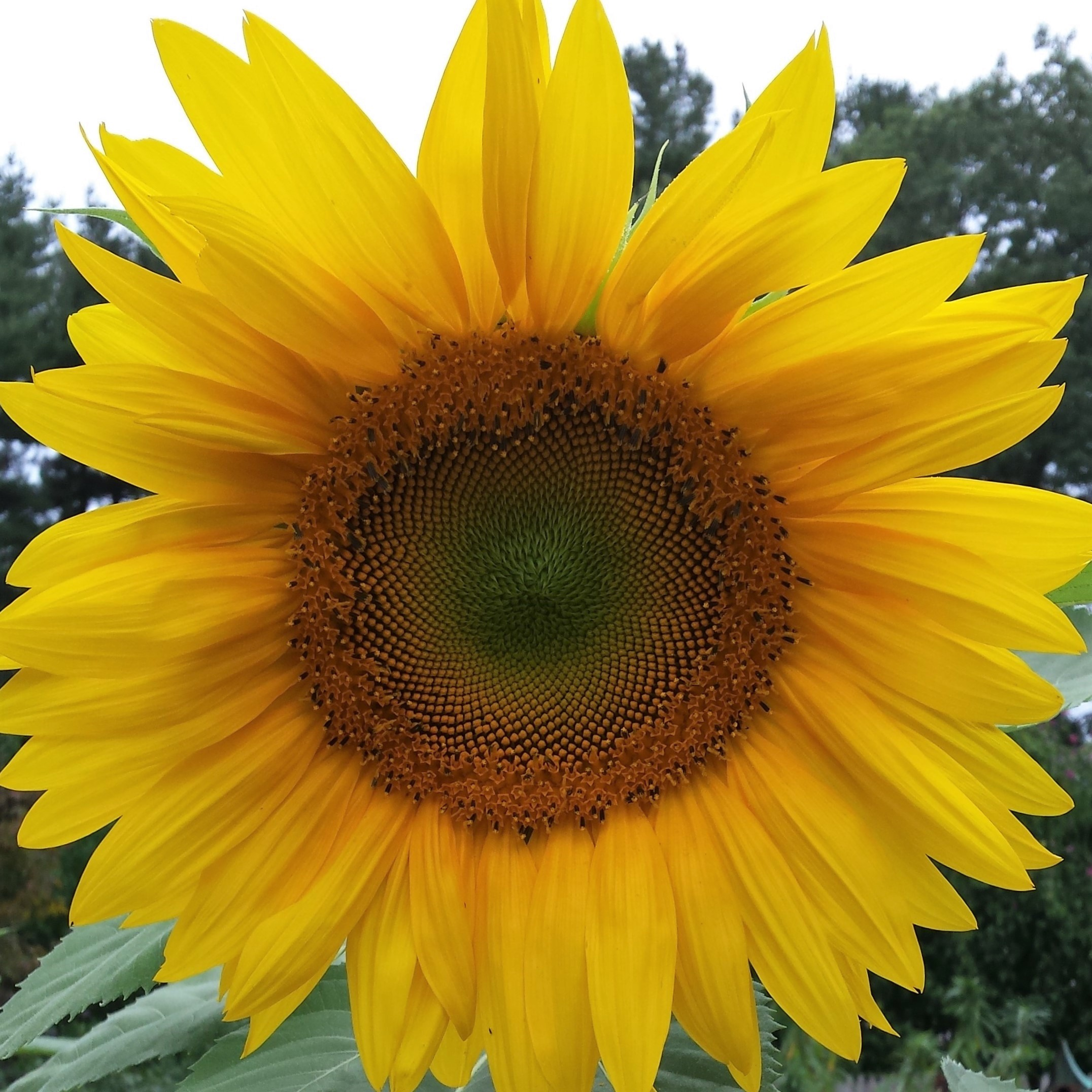 sunflower-day-3-2