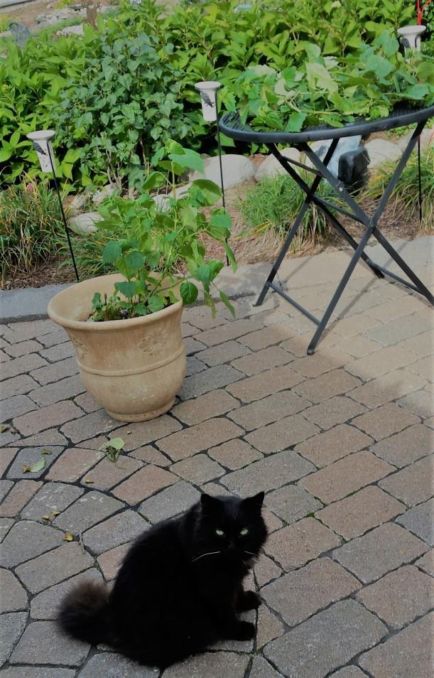 patchouli-cut-plant