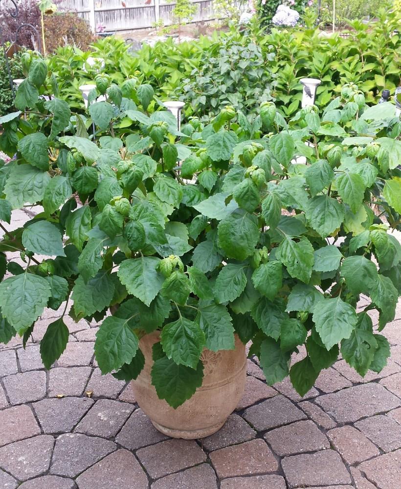 patchouli-plant-1