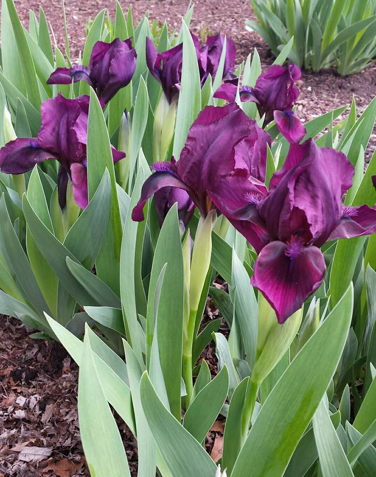 purpleiris