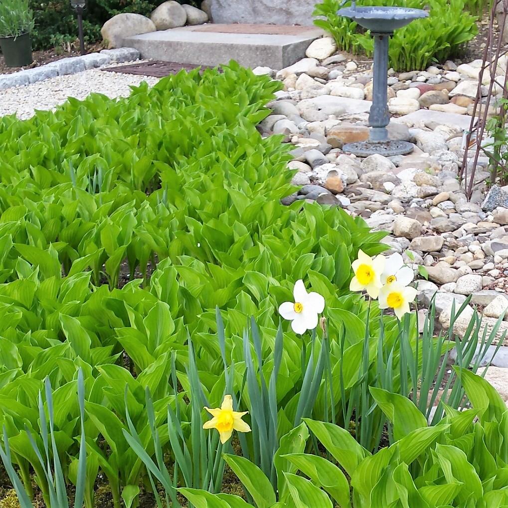Daffodils-Hosta