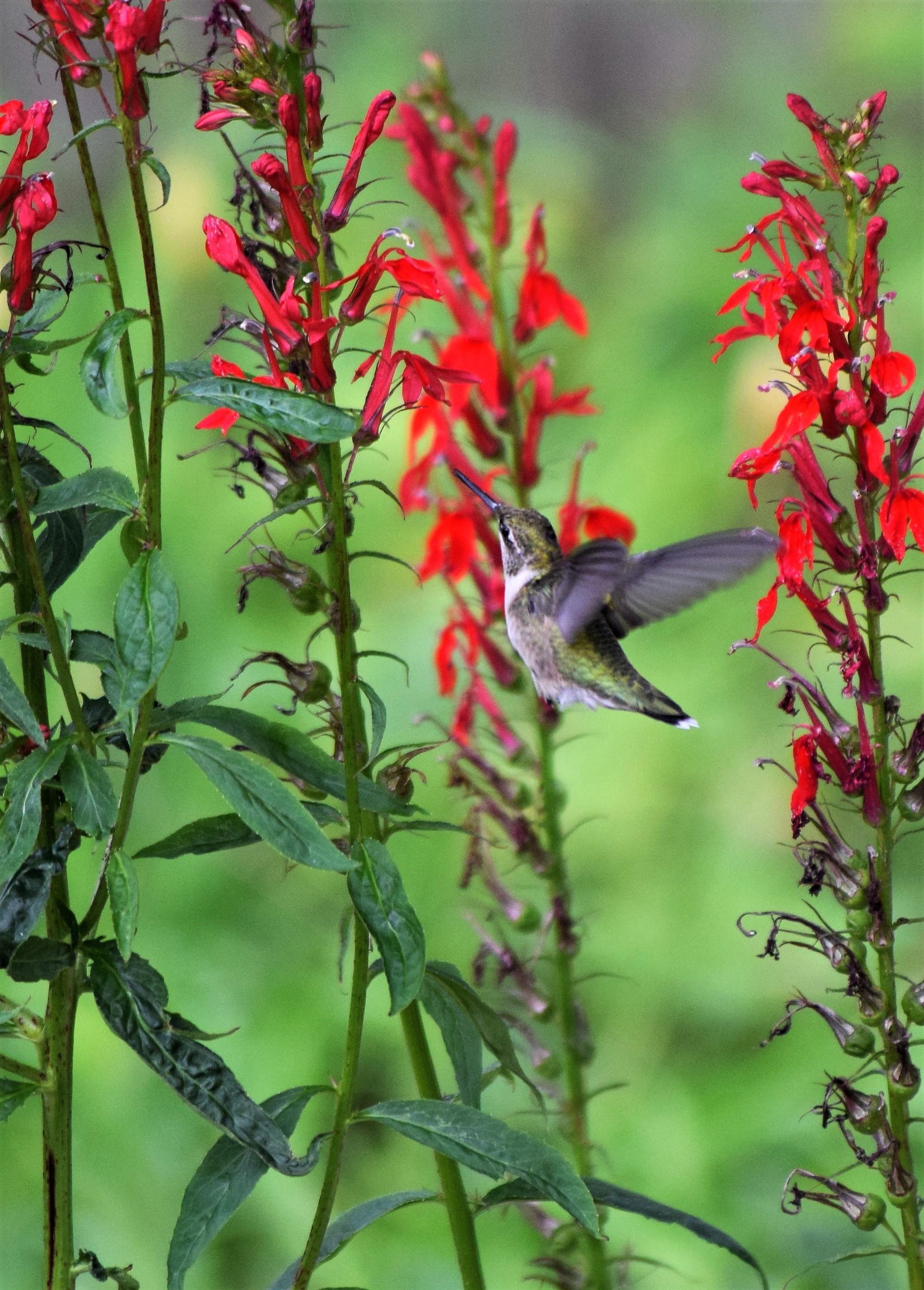blog-cardinalflower