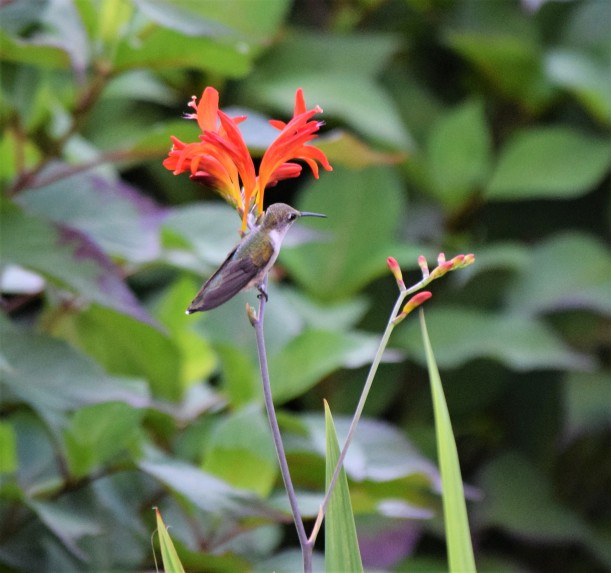 blog-crocosmia-perch