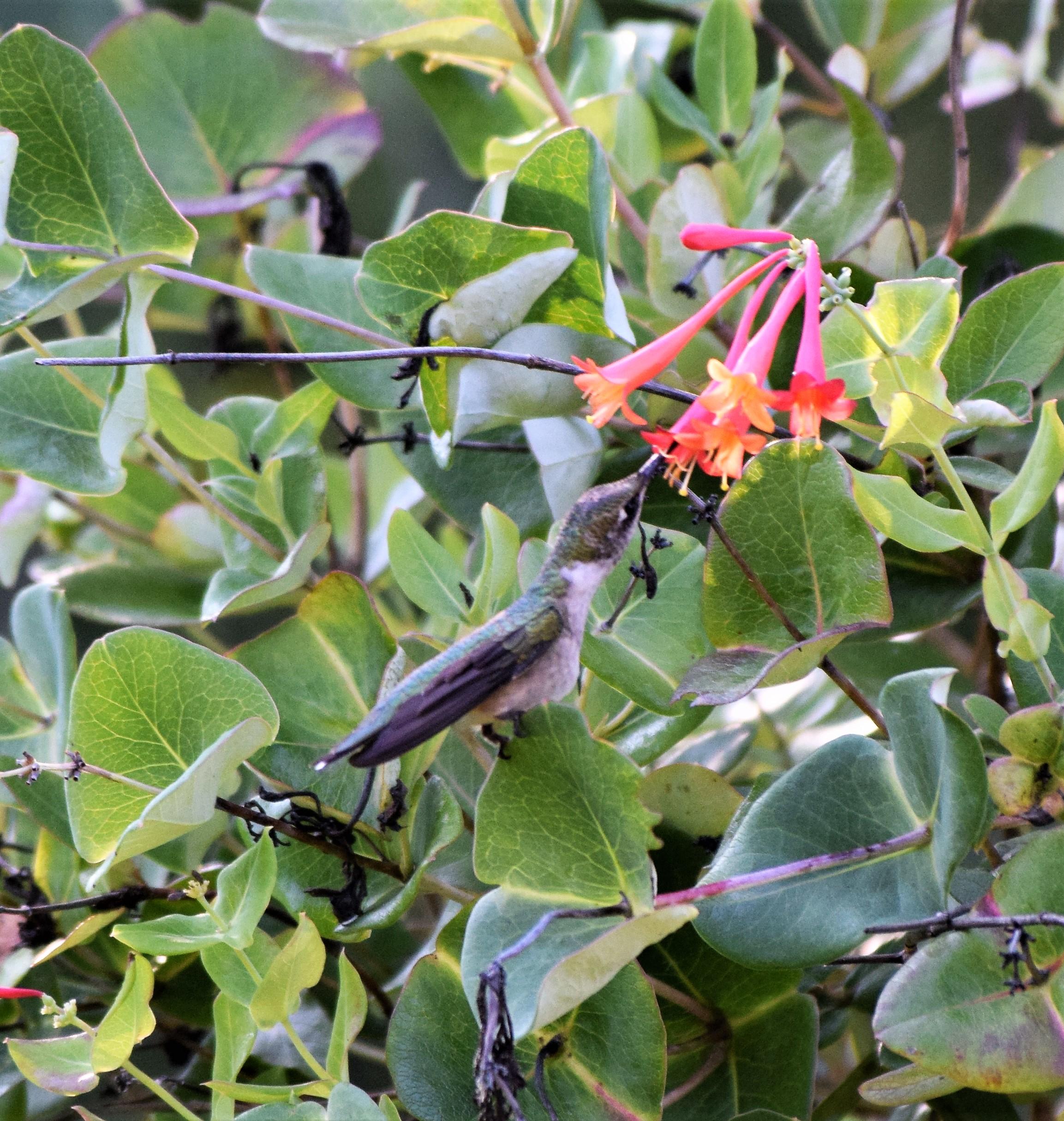 blog-honeysuckle-perch