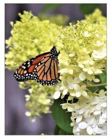Monarch-hydrangea