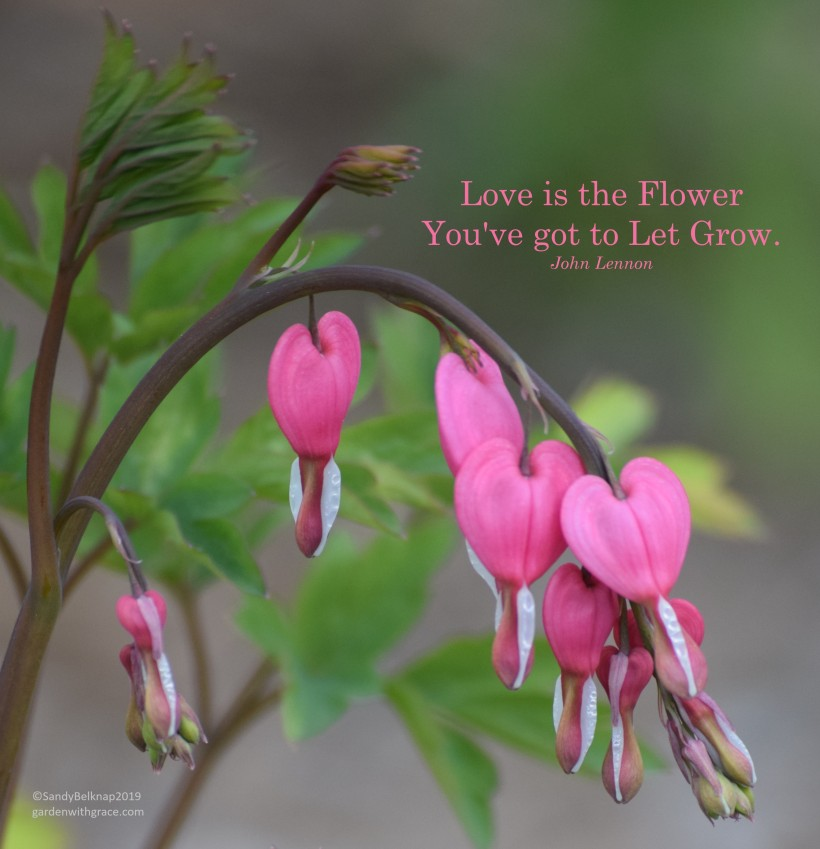 Bleeding Heart plant with quote by John Lennon - Love is the Flower You've  got to Let Grow. ©SandyBelknap2019